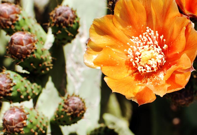 kaktus-blueten-barcelona-travel-reise-feige