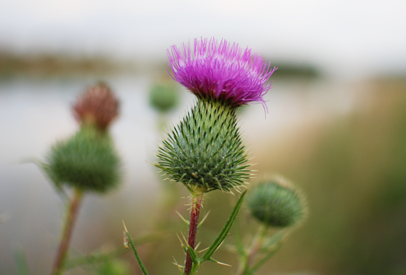 distel-blume-flower-natur-nature-blogger-urlaub-holiday-travel-reise