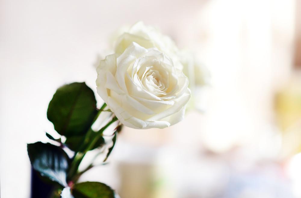 rosen-flowers-lifestyle-beautiful